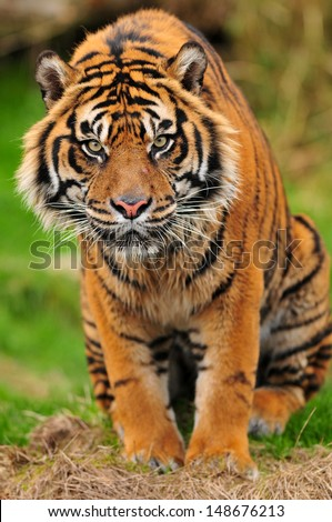 Closeup portrait of a male Sumatran tiger staring straight at the camera - stock photo