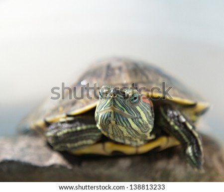closeup portrait of a turtle on brown-grey blurred background - stock photo