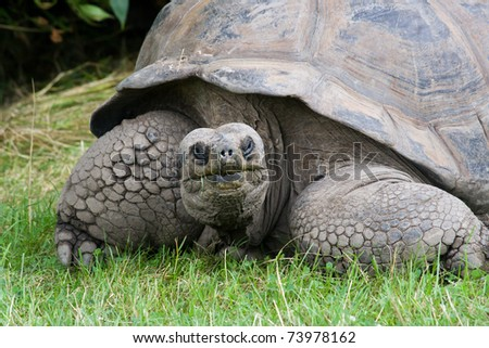 Closeup portrait of a very old giant tortoise - stock photo