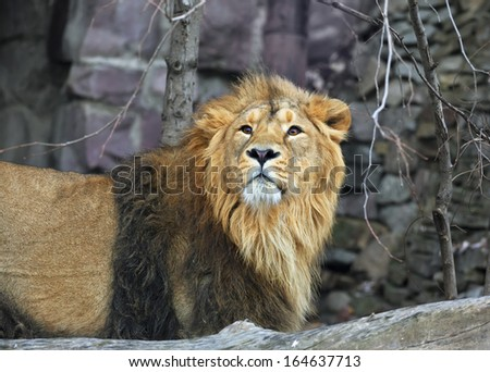 Closeup portrait of a young Asian lion. The King of beasts with splendid mane. Wild beauty of the biggest cat. The most dangerous and mighty predator of the world. - stock photo