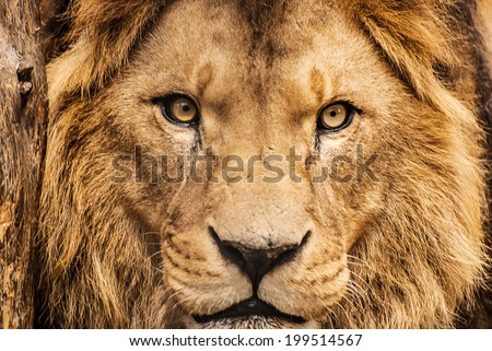 Closeup portrait of an African Lion - stock photo