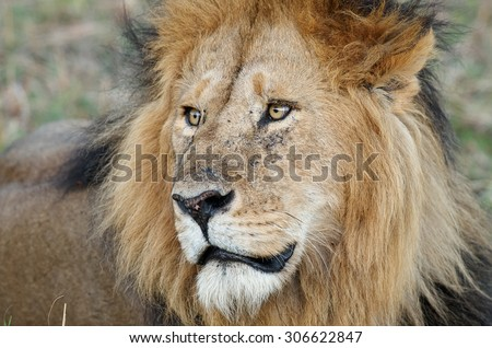 Closeup portrait of an African Lion. Lion eyes - stock photo