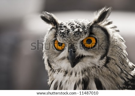 Closeup portrait of an owl. The focus is in his eyes. - stock photo