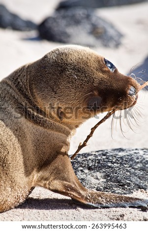 Closeup portrait of baby pup sea lion sunbathing in a beach at the Galapagos Islands, Ecuador - stock photo