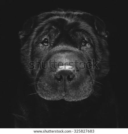 Closeup portrait of beautiful adult purebred shar pei over black background - stock photo