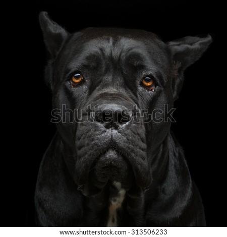 Closeup portrait of beautiful black Cane Corso female dog. Pure breed. Studio shot over black background. Square composition. - stock photo