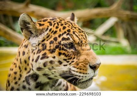 closeup portrait of beautiful jaguar outdoors park zoo - stock photo