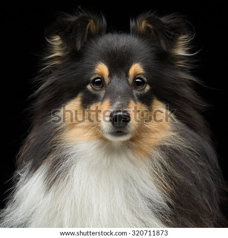 Closeup portrait of beautiful pure breeded tricolor Shetland Sheepdog. Over black background. Square composition. - stock photo