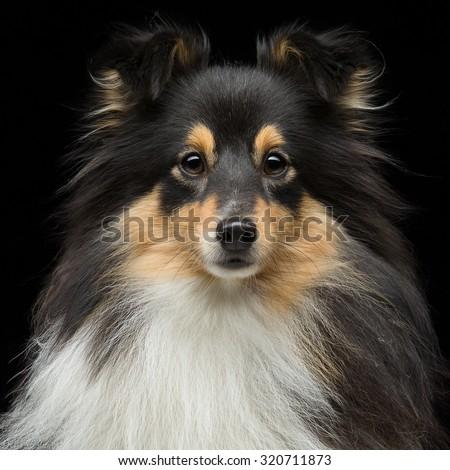 Closeup portrait of beautiful pure breeded tricolor Shetland Sheepdog. Over black background. Square composition. - stock photo