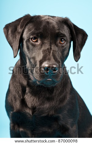 Closeup portrait of black labrador isolated on blue background - stock photo