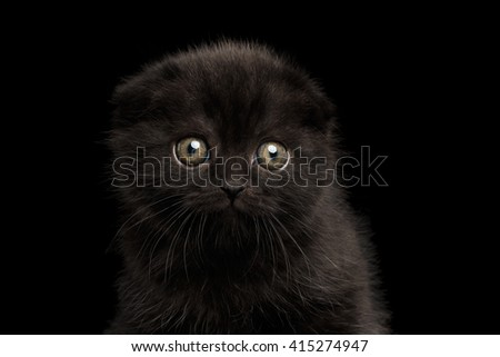 Closeup Portrait of Black Scottish Fold Kitten Looking in Camera Isolated on Black Background - stock photo