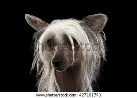 Closeup Portrait of Chinese Crested dog Looking up in front of Isolated Black background - stock photo