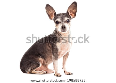 Closeup portrait of cute chihuahua dog isolated on white background  - stock photo
