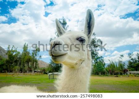 closeup portrait of cute llama in a farm - stock photo