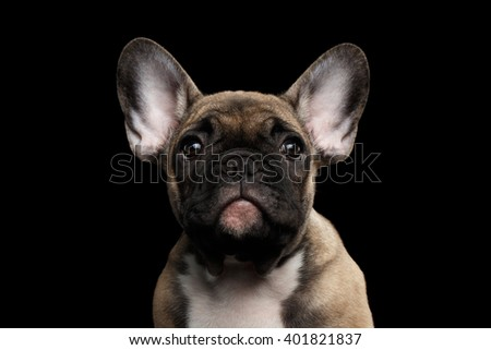 Closeup Portrait of French Bulldog Puppy, Cute Face and big Ears Looking in Camera, Front view,  Isolated on black background - stock photo