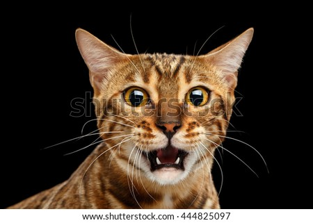 Closeup Portrait of frightened Bengal Cat Face on Isolated Black Background, Front view, Fear Kitty, Surprised Open mouth - stock photo