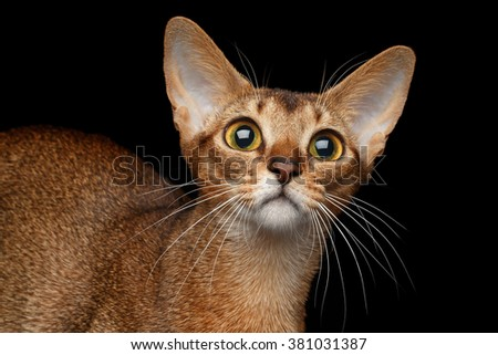 Closeup Portrait of Funny Abyssinian Cat isolated on black background - stock photo