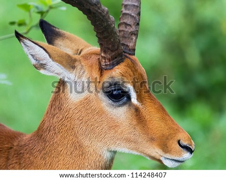 Closeup portrait of gazelle male in Lake Nakuru National Park - Kenya, East Africa - stock photo
