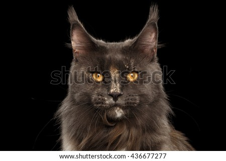 Closeup Portrait of Maine Coon Cat Face in Front view Looking in Camera, Isolated on Black Background - stock photo