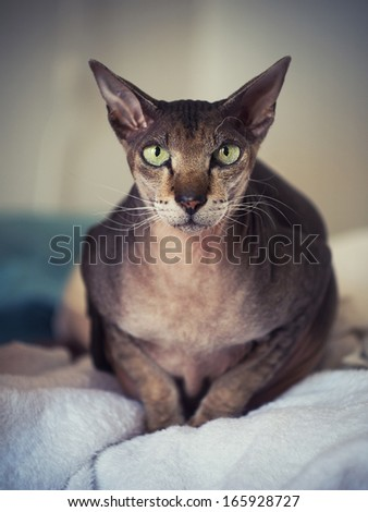 Closeup portrait of peterbald cat. Focus on eyes. - stock photo