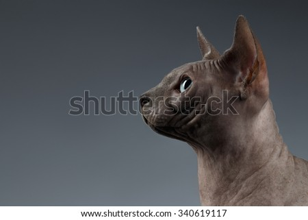 Closeup Portrait of Sphynx Cat in Profile view on Black Background - stock photo