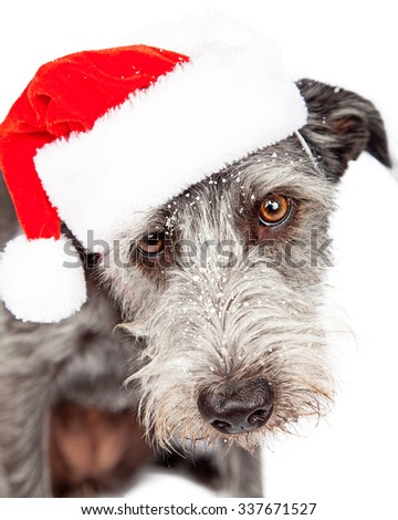 Closeup portrait of terrier dog wearing Santa hat in snow - stock photo