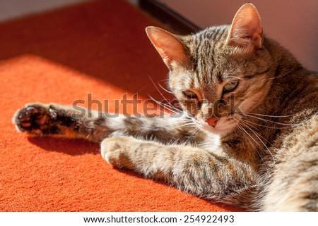 Closeup portrait of the cat lying on the floor under sun - stock photo