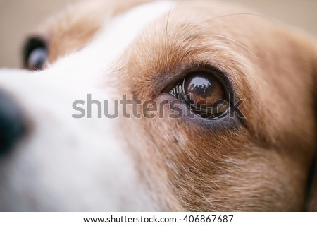 closeup portrait of tricolor beagle dog, focus on the eye - stock photo