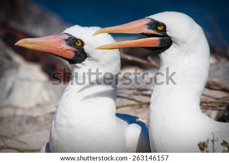 Closeup portrait of two masked boobies in the Galapagos Islands, Ecuador - stock photo