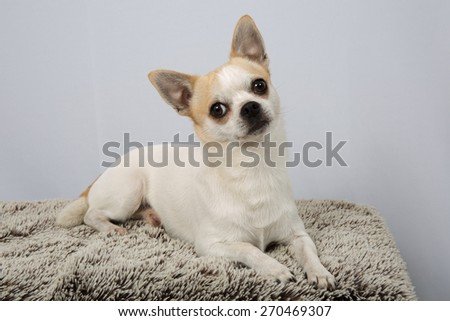 Closeup portrait of white  Chihuahua against grey background - stock photo