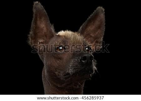 Closeup portrait of Xoloitzcuintle - hairless mexican dog breed, on Isolated Black background, Sad eyes - stock photo