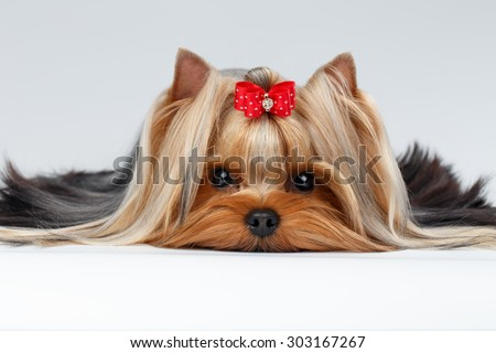 Closeup Portrait of Yorkshire Terrier Dog Lying on White background - stock photo