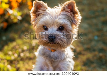 Closeup portrait of Yorkshire Terrier Dog on the grass - stock photo