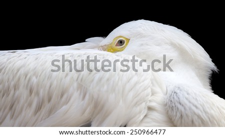 closeup portrait on a black background of an American white pelican resting - stock photo