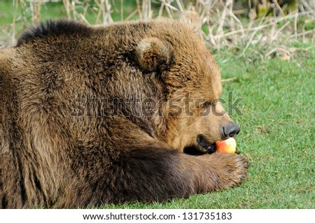 Closeup profile of brown bear feeding on apple in sunshine - stock photo