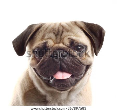closeup Pug dog - stock photo