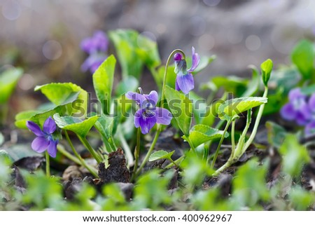 Closeup purple flowers (Scientific name: Viola odorata, Sweet Violet, English Violet, Common Violet or Garden Violet) blooming in spring  in wild meadow. Nature background  - stock photo
