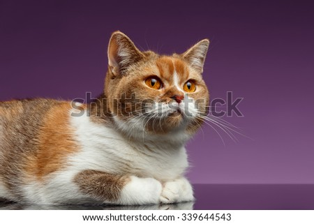 Closeup Red British Cat Lies on Purple Background - stock photo