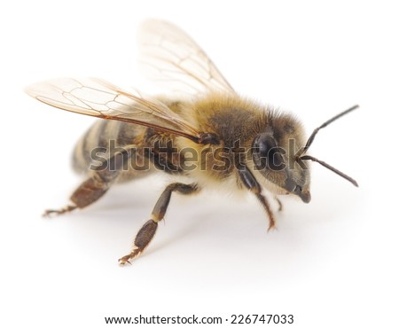 Closeup shot of a bee isolated on white background  - stock photo