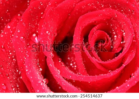 closeup shot of a red rose with droplets on petals - stock photo