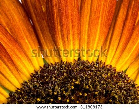 Closeup shot of beautiful sunflower - stock photo