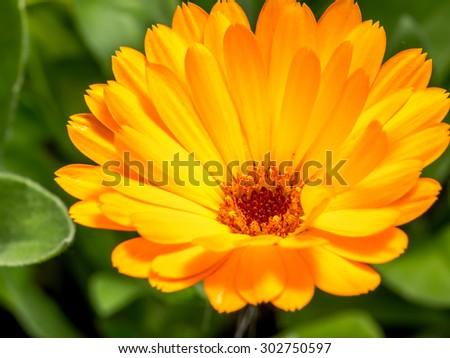 Closeup shot of orange marigold flower in blossom - stock photo