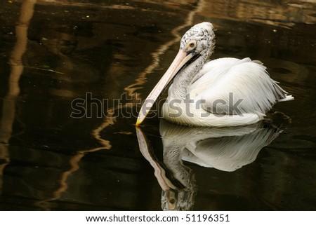 Closeup shot of spot billed pelican at a local park - stock photo