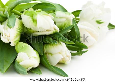 Closeup shot of white tulips. Isolated on white background. - stock photo