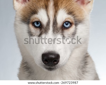 Closeup Siberian Husky Puppy isolated on White background - stock photo