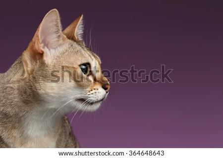 Closeup Singapura Cat Profile view on purple background - stock photo