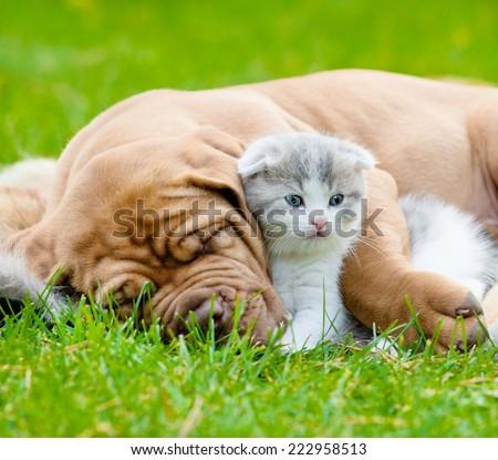 Closeup sleeping Bordeaux puppy dog hugs newborn kitten on green grass - stock photo
