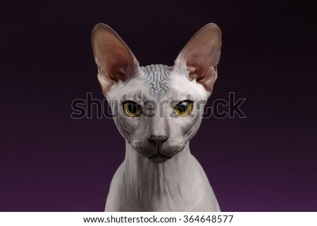 Closeup Sphynx Cat Looking in camera on purple background - stock photo