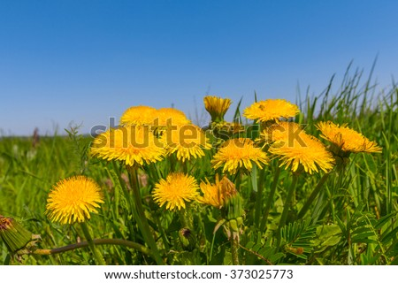 closeup spring yellow dandelion  - stock photo