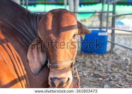 Closeup straight face American Brahman brown, korat, Thai, - stock photo